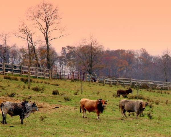 Cattle Poster featuring the photograph Magical Mornings by Karen Wiles