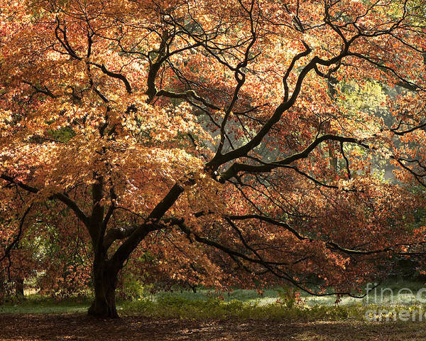 Acer Poster featuring the photograph Magnificent Autumn by Anne Gilbert