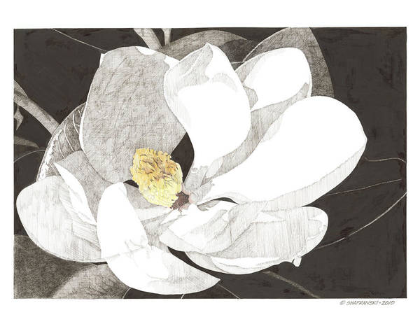 Pen And Ink Poster featuring the drawing Magnolia 1 by Paul Shafranski