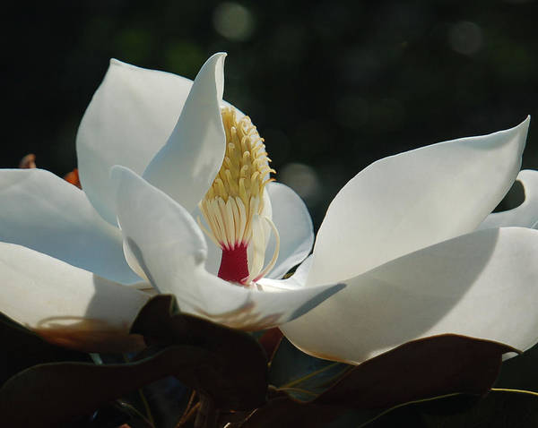 Magnolia Poster featuring the photograph Magnolia Tiny Gem by Suzanne Gaff