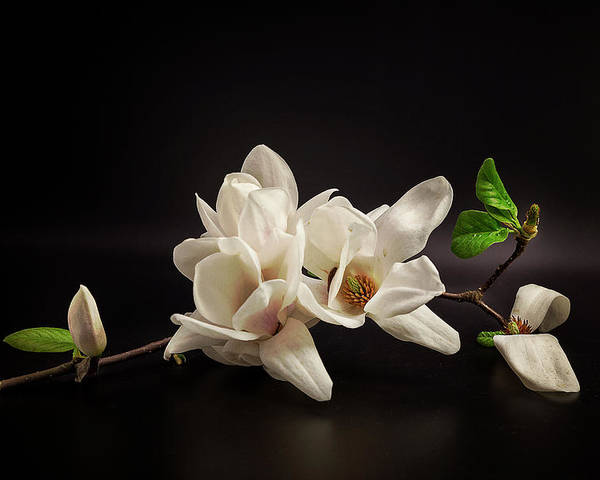 Flowers Poster featuring the photograph Magnolia by Tony08