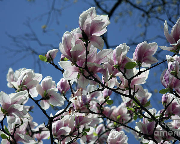 Magnolia Poster featuring the photograph Magnolia Twig by Christiane Schulze Art And Photography