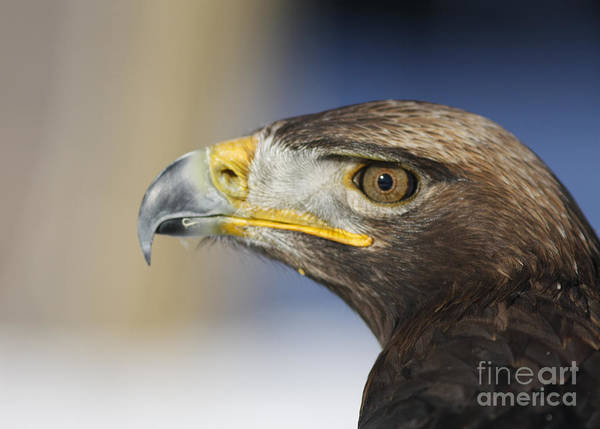 Art Cards Poster featuring the photograph Majestic Golden Eagle by Inspired Nature Photography Fine Art Photography
