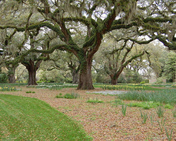 Live Oak Poster featuring the photograph Majestic Live Oaks In Spring by Suzanne Gaff