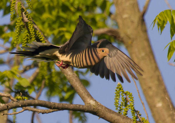 Avian Poster featuring the photograph Majestic Mourning Dove by David Lester