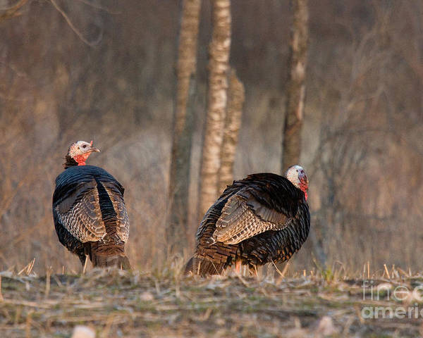 Eastern Wild Turkey Poster featuring the photograph Male Eastern Wild Turkeys by Linda Freshwaters Arndt