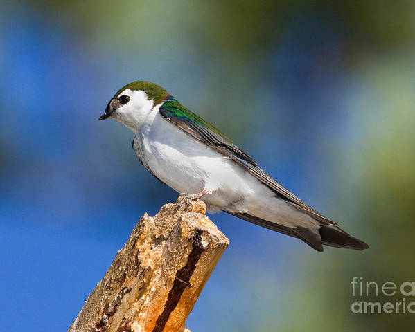 Animal Poster featuring the photograph Male Violet-green Swallow by Anthony Mercieca