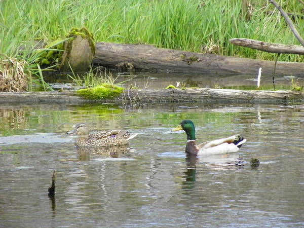 Duck Poster featuring the photograph Mallard Couple by Gene Cyr