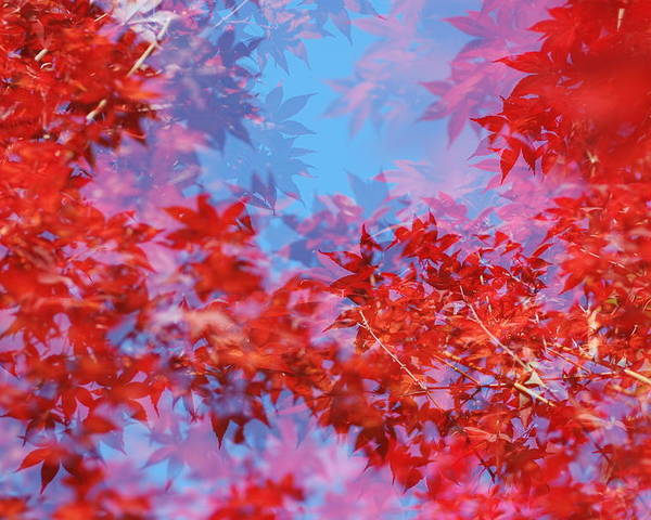 Leaf Poster featuring the photograph Maple Leaves by Catherine Lau