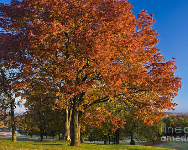 Autumn Poster featuring the photograph Maple Trees by Brian Jannsen