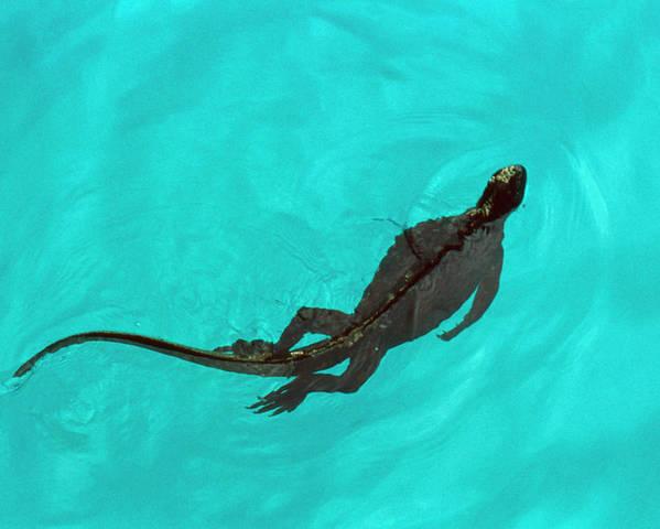 Marine Iguana Poster featuring the photograph Marine Iguana (amblyrhynchus Cristatus) Swimming by John Beatty/science Photo Library