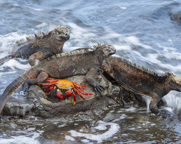 Tui De Roy Poster featuring the photograph Marine Iguana Trio And Sally Lightfoot by Tui De Roy