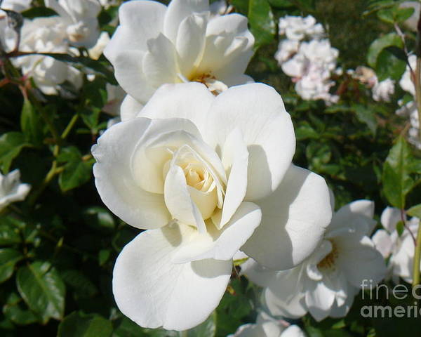 White Roses Poster featuring the photograph Mariposa Blanca by Mary Brhel