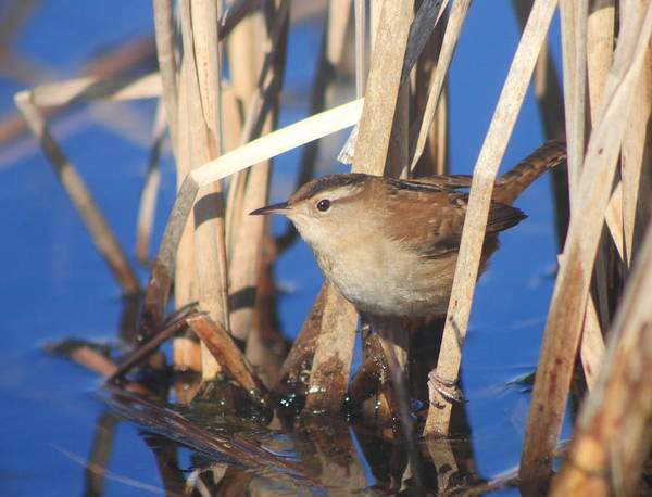 Wildlife Poster featuring the photograph Marsh Wren by John Burk