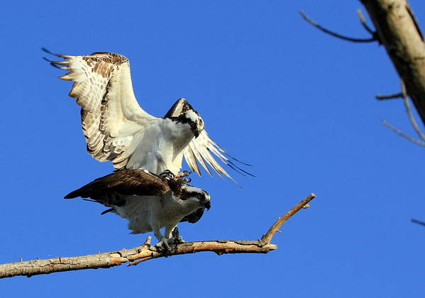 Osprey Poster featuring the photograph Mating Ospreys IIi by Ron Romanosky