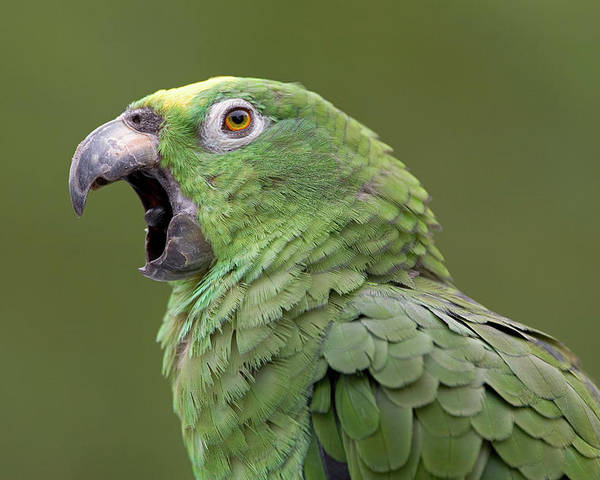 00762511 Poster featuring the photograph Mealy Parrot Amazona Farinosa Calling by Ingo Arndt