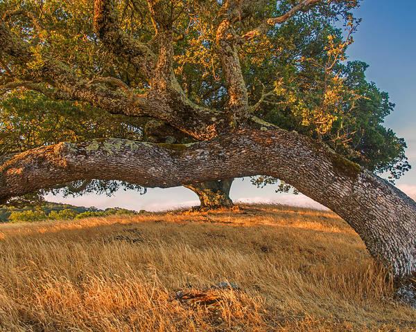 Landscape Poster featuring the photograph Medusa Oak by Marc Crumpler