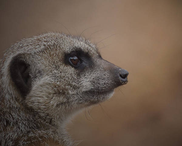 Meerkat Poster featuring the photograph Meerkat 10 by Ernie Echols