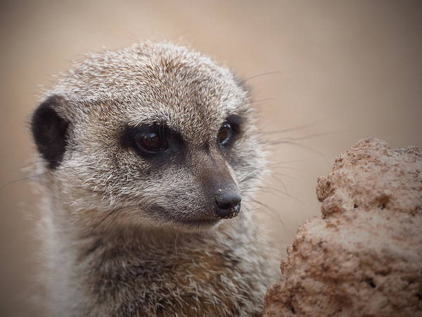Meerkat Poster featuring the photograph Meerkat 7 by Ernie Echols