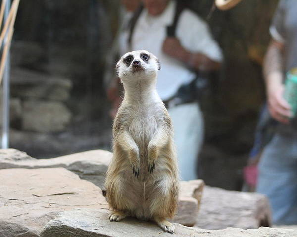 National Poster featuring the photograph Meerket - National Zoo - 01132 by DC Photographer