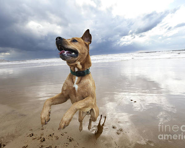 Dog Poster featuring the photograph Mid-air Beach Dog by Eldad Carin
