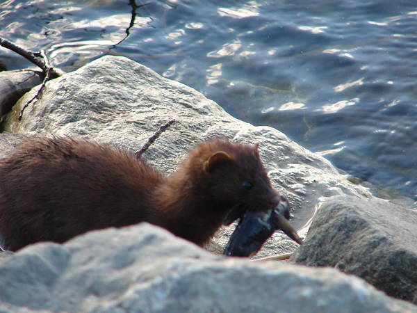 American Mink Poster featuring the photograph Mink with a Round Goby by Randy J Heath