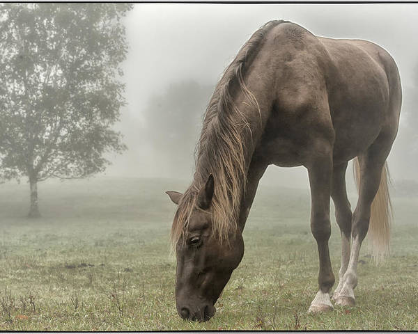 Rocky Mountain Horse Poster featuring the photograph Misty Morning by Peter Lindsay