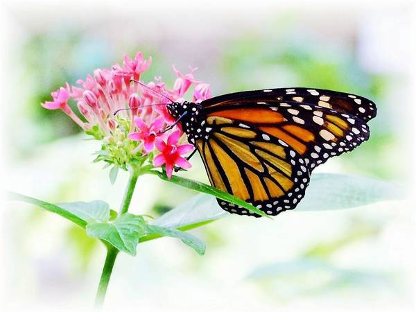 Butterfly Poster featuring the photograph Monarch Beauty by Jim Darnall