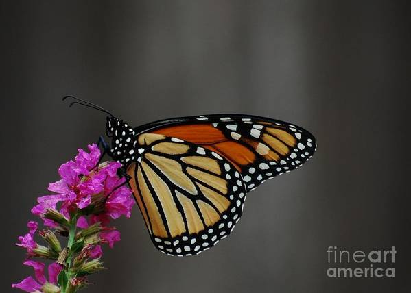 Monarch Poster featuring the photograph Monarch Butterfly 2 by Joy Bradley