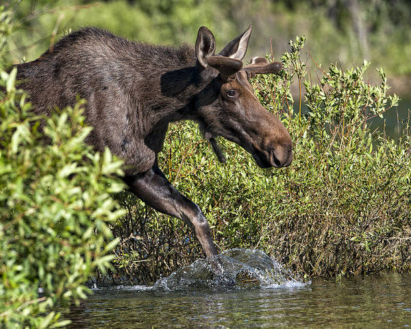 Yellow Stone National Park Poster featuring the photograph Moose Makes A Splash by Paul W Sharpe Aka Wizard of Wonders