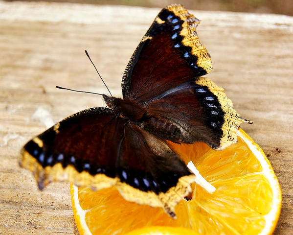Morning Cloak Butterfly Poster featuring the photograph Morning Cloak Butterfly by Carol Toepke