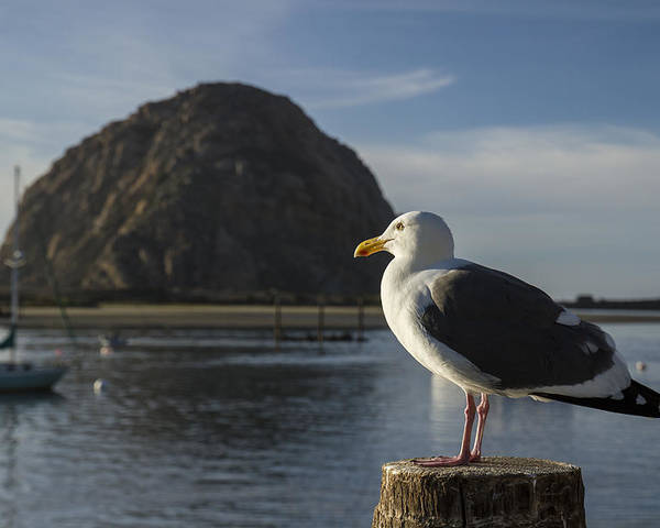 Boats Poster featuring the photograph Morro Bay Seagull by Jim Moss