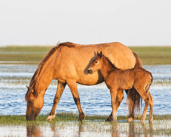 Wild Poster featuring the photograph Mother And Foal by Bob Decker