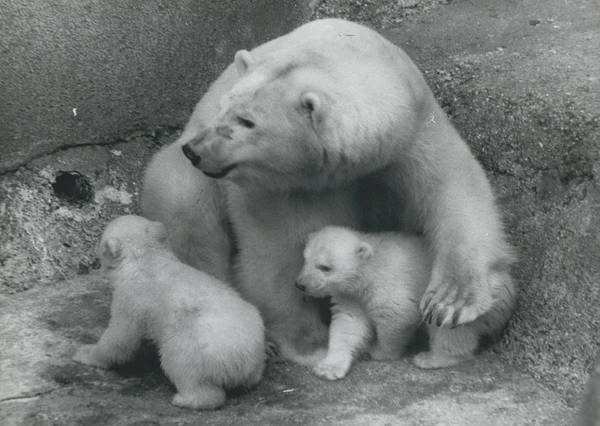 retro Images Archive Poster featuring the photograph Mother Bear Shows Off Her Twin Babies. Tiyak And Tineak - by Retro Images Archive