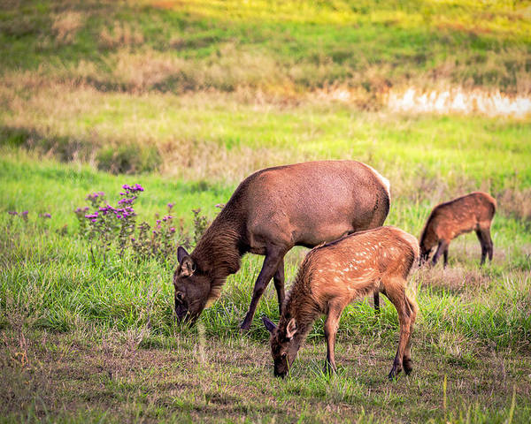 Elk Poster featuring the photograph Mother Elk With Her Young by Sennie Pierson
