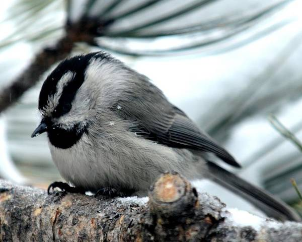 Colorado Poster featuring the photograph Mountain Chickadee During A Light Snow by Marilyn Burton