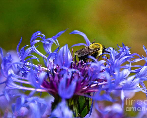Mountain Cornflower Poster featuring the photograph Mountain Cornflower And Bumble Bee by Byron Varvarigos