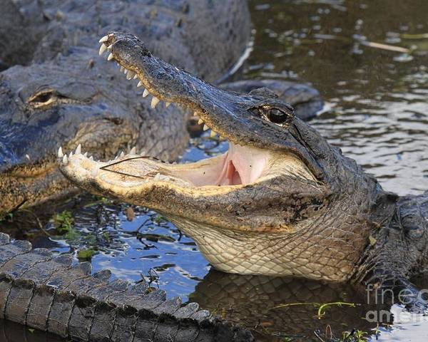Alligator Poster featuring the photograph Mouth In The Middle by Adam Jewell