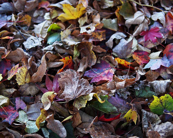 Colorful Poster featuring the photograph Multicolored Autumn Leaves by Rona Black