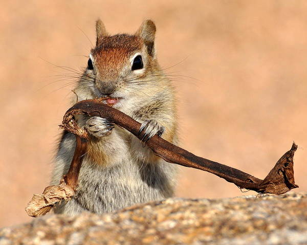 Chipmunk Poster featuring the photograph Munching by Pam Garcia