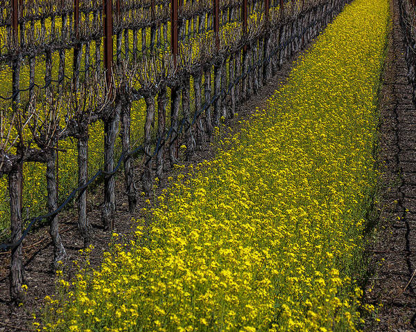 Mustard Grass Poster featuring the photograph Mustrad Grass In The Vineyards by Garry Gay