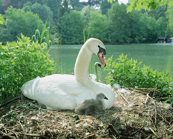 Feb0514 Poster featuring the photograph Mute Swan Parent And Chicks On Nest by Konrad Wothe