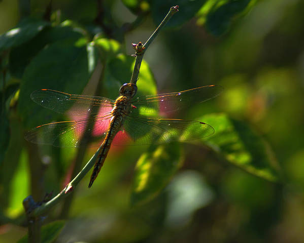 Insect Poster featuring the photograph My Dragonfly by Lorenzo Williams