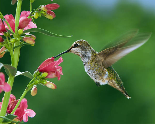 Hummingbird Poster featuring the photograph My Favorite Flowers by William Lee