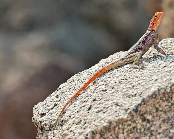 Agama Planiceps Poster featuring the photograph Namibian Rock Agama by Tony Camacho