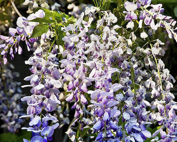 Wisteria Poster featuring the photograph Nancys Wisteria Cropped Db by Rich Franco