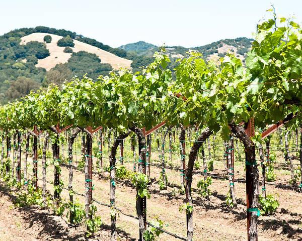 Napa Vineyard Poster featuring the photograph Napa Vineyard Grapes by Shane Kelly