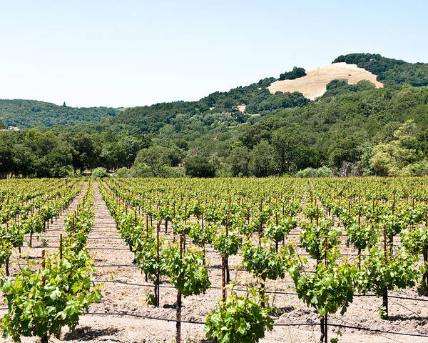 Napa Vineyard Poster featuring the photograph Napa Vineyard With Hills by Shane Kelly
