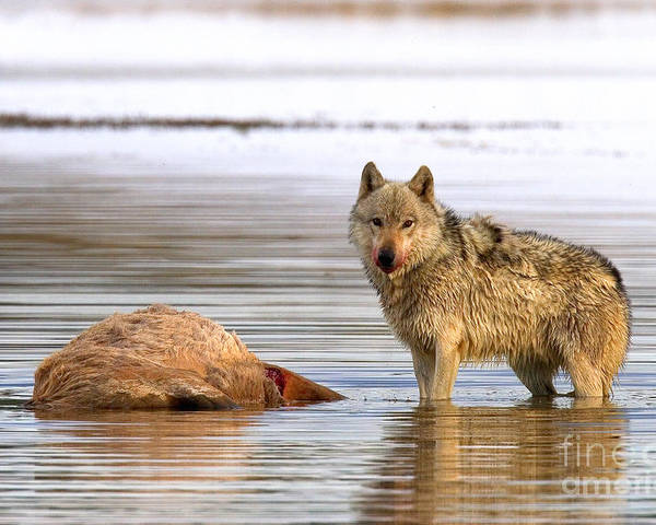 Gray Wolf Poster featuring the photograph Hayden Alpha by Aaron Whittemore