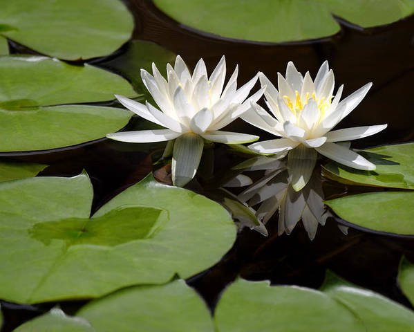 Nature Poster featuring the pyrography Nature's Snow White Water Lilies by Linda Phelps